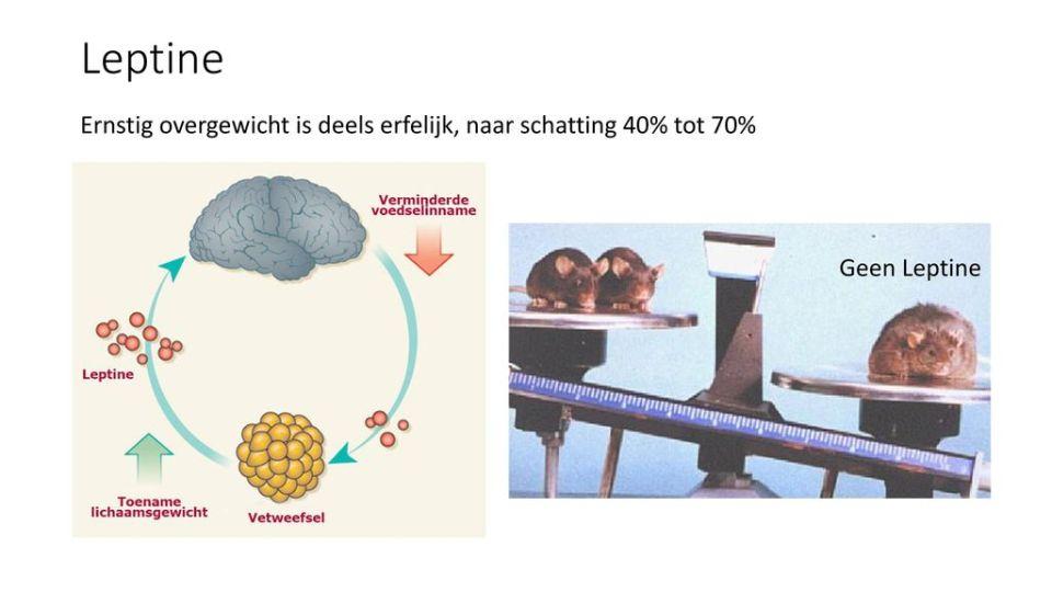Afbeeldingsresultaat voor leptine en overgewicht