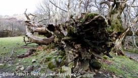 An amazing old fallen tree at the bottom of the mountain