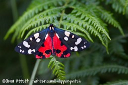 Scarlet Tiger - there was a whole new batch at Tintagel