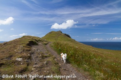 Bertie heading for the Iron Age hillfort at Pentire Point