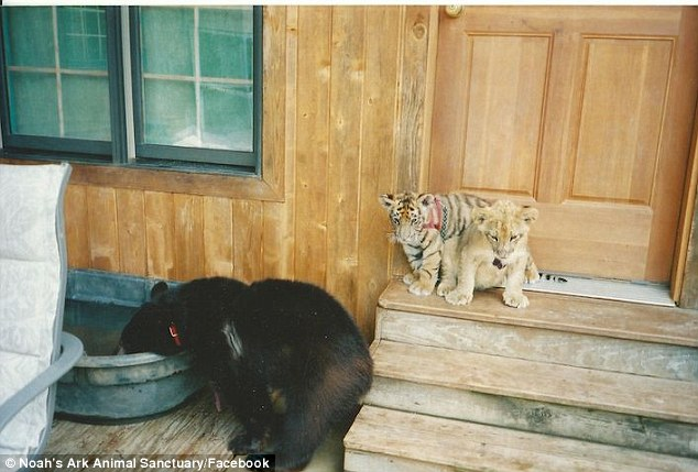 No Zoo Has Ever Put A Lion, Tiger And A Bear Together Until Now. You Have To See This