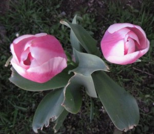 Pink Tulips in Paso Robles Yard