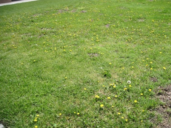 Picture of Dandelions in the Post Office Lawn in Paso Robles