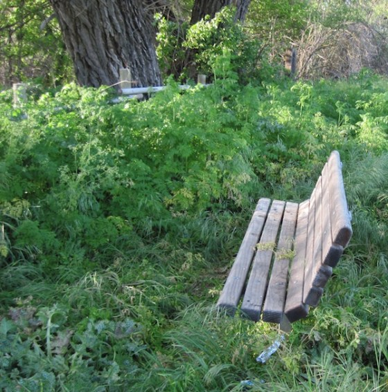 This bench is surrounded by milk thistle and poison hemlock.