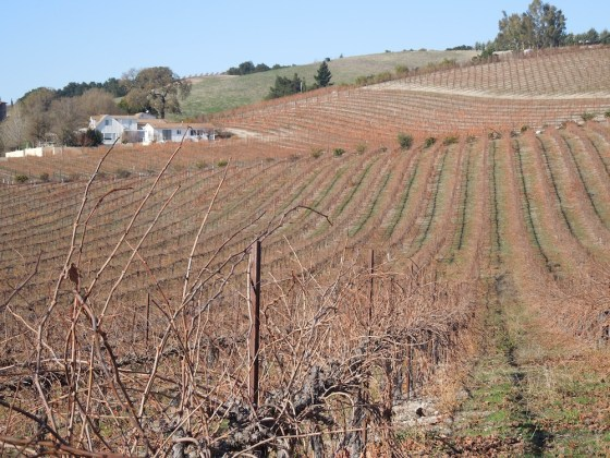 Red Soles Vineyard, December 17, 2011, after Frosts