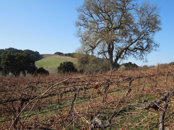 Red Soles Vineyard with Oak Trees, December 17, 2011