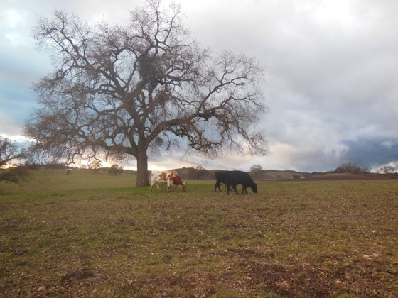 Cattle Under Oak Next to Zenaida Vineyard