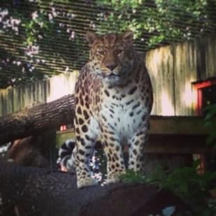Leopard Marwell Zoo