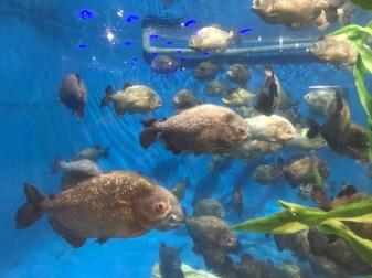 Malaysia 2018 Aquaria KLCC piranha