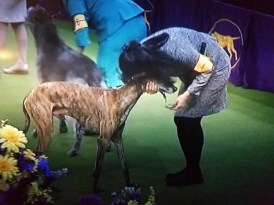Toby in the Group Ring at Westminster Dog Show 2017