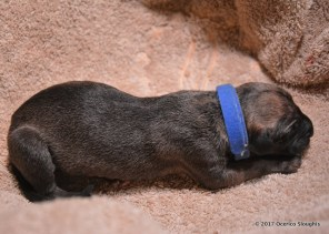 Ocerico El-Djem (Reserved) Seventh born puppy (male)