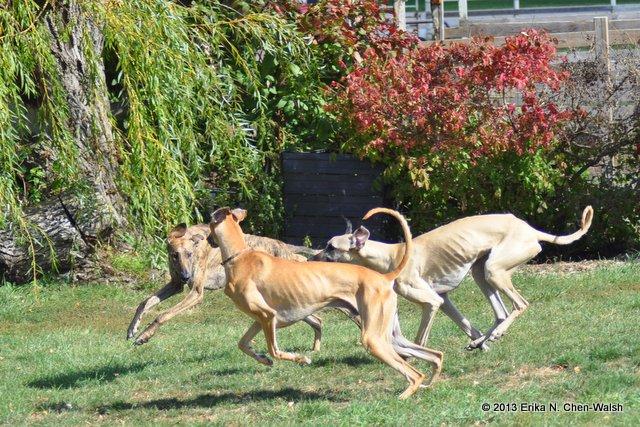 Three Sloughis Running