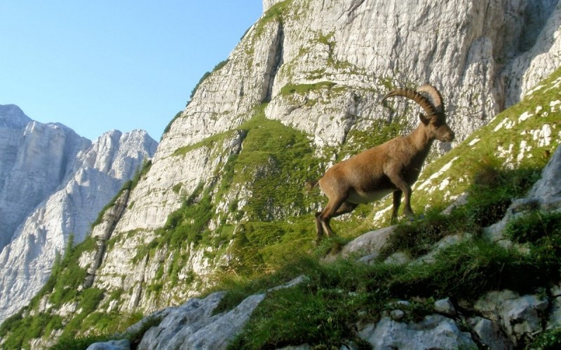 Wildlife in Alps Mountain