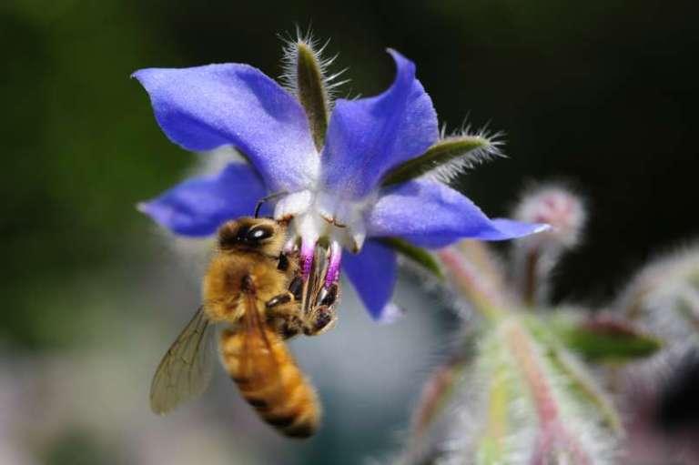 Zvezdasti cvetovi, ki so zdravi in okusni hkrati