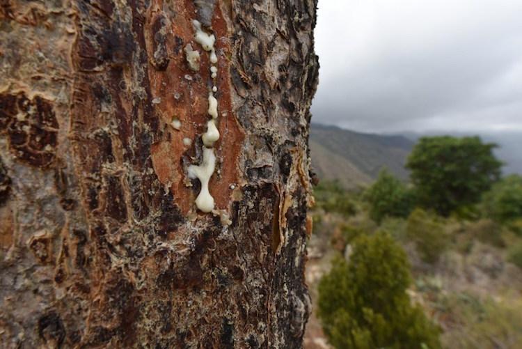Carterii-frankincense-exuding-from-tree-e1465947340453