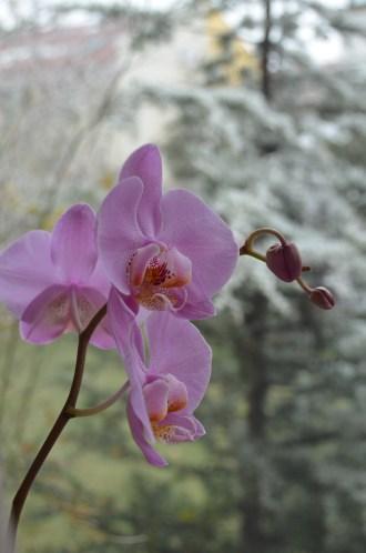 Cele mai senzuale flori. Înfloresc iarna. The most sensual flowers. They bloom in winter. Foto: ©SLOWAHOLIC Dec. 2013