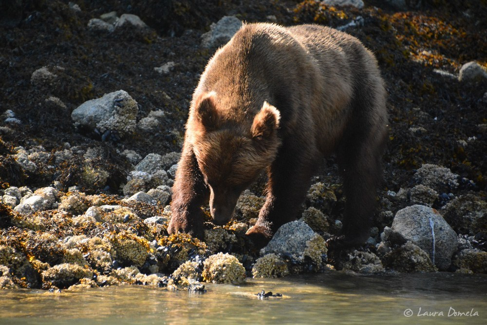 Brown bear foraging on shore, Ford's Terror