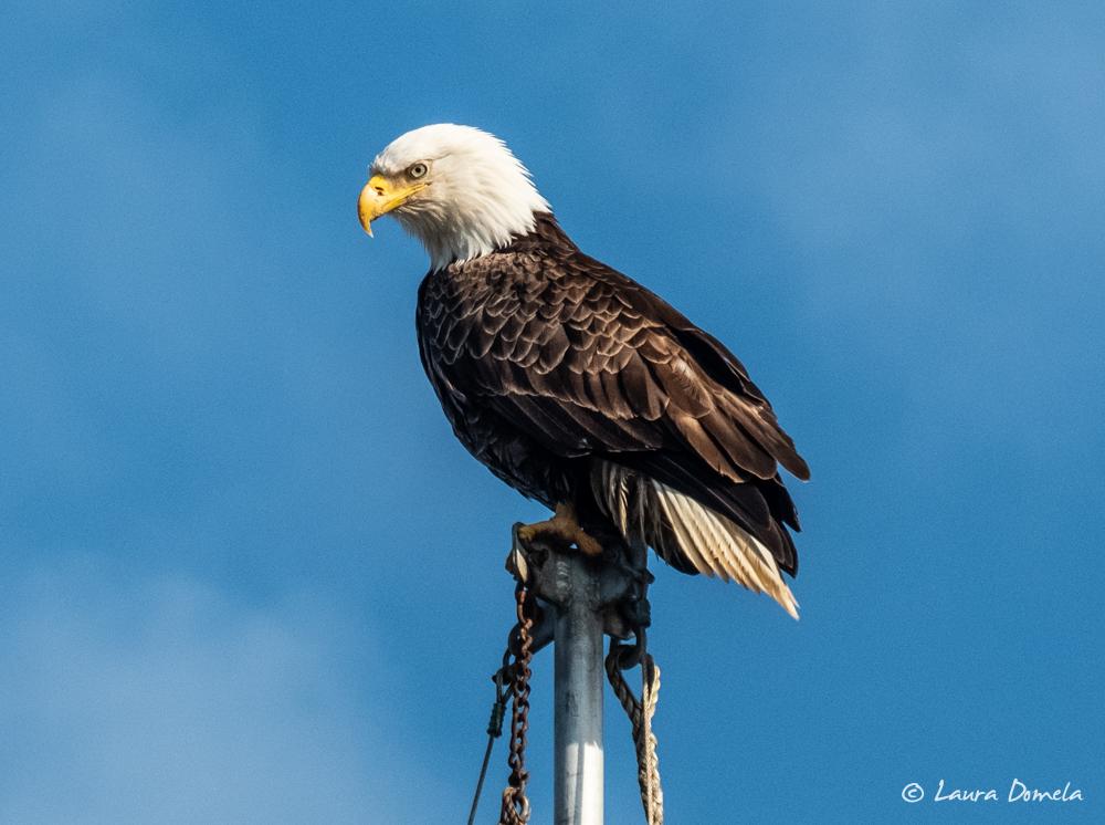 ketchikan_eagle-2147