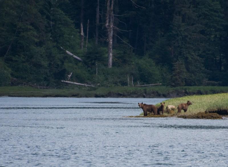 Brown bears on shore