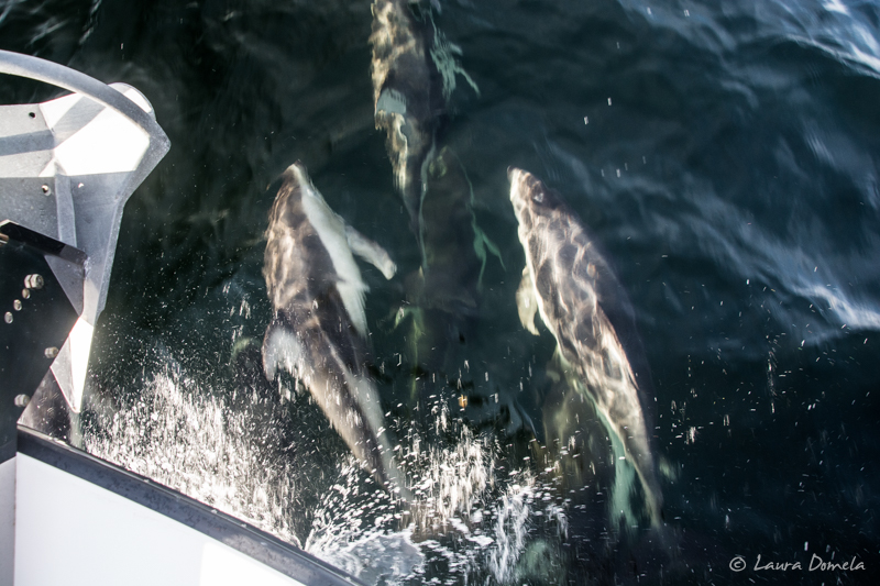Pacific white-sided dolphins surfing our bow wake en route to Rescue Bay