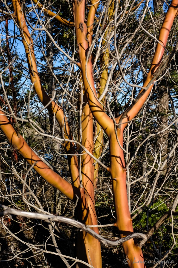 Smooth, colorful Madrone trees line the trail.