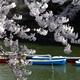 増上寺・千鳥ヶ淵 --サクラ、咲く。--