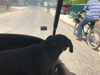 Taking the dogs for a ride in a golf cart!