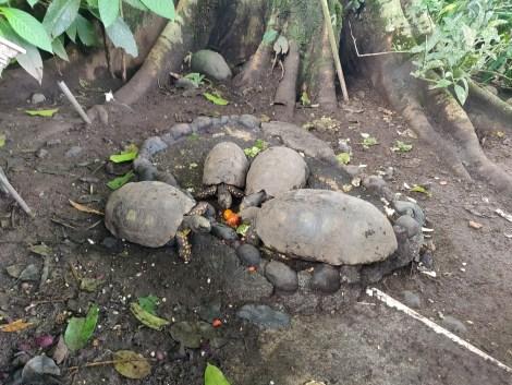 puyo turtles.jpg