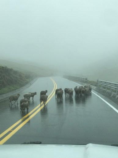 village sheep crossing..jpg