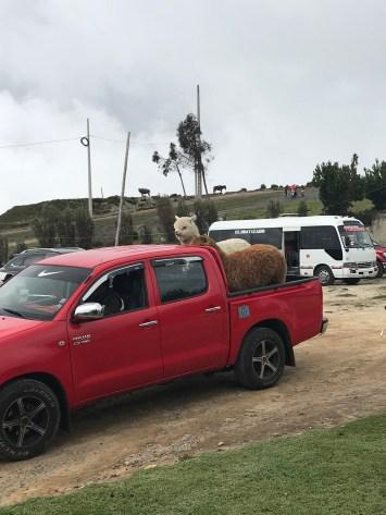 quilotoa alpaca.jpg