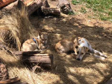 dogs resting in the shade