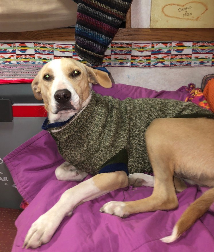 pacha in a sweater.JPG