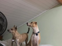 Dogs hear the possum in the attic.