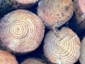 pine tree rings1