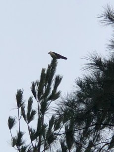 pine with eagle