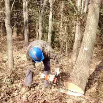 Cutting down tree at Stoltzfus tree farm