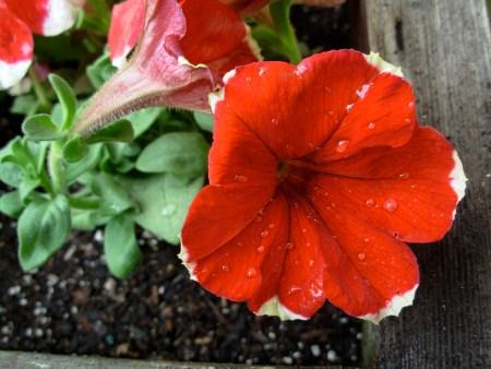 Garden-Red Petunia
