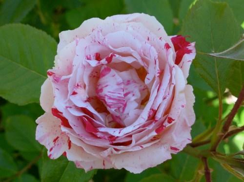 roseredwhite