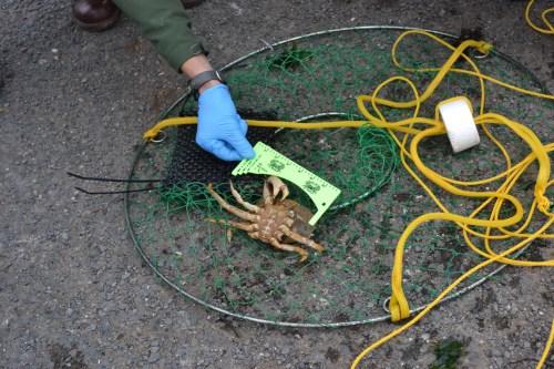 SFBay_Crabbing_7