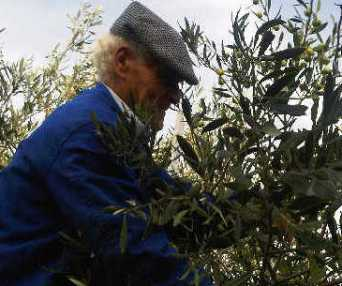 raccolta olive ridotta