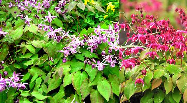 Image result for Horny Goat Weed (Epimedium)