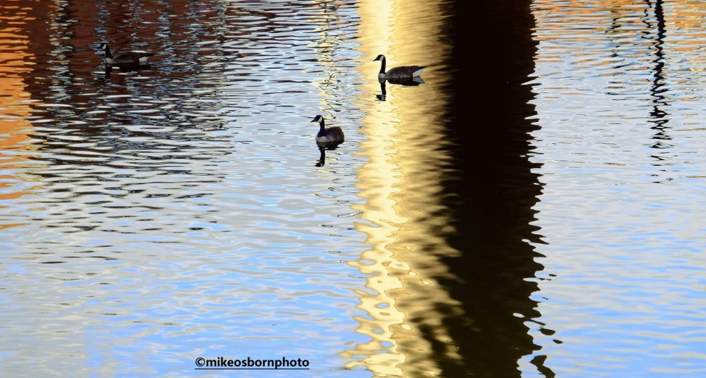 Geese gliding in the canal in Manchester