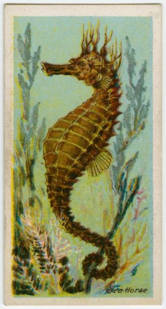 """George Arents Collection, The New York Public Library. """"Sea-horse (Hippocampus)."""" The New York Public Library Digital Collections."""