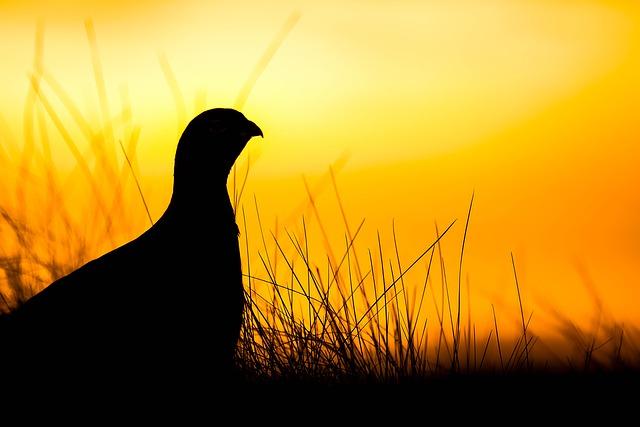 닭 여명 새벽