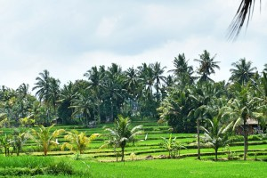 The actual Ubud rice fields
