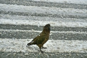 Cheeky Kea birds pestering stopped cars in front of a tunnel ?