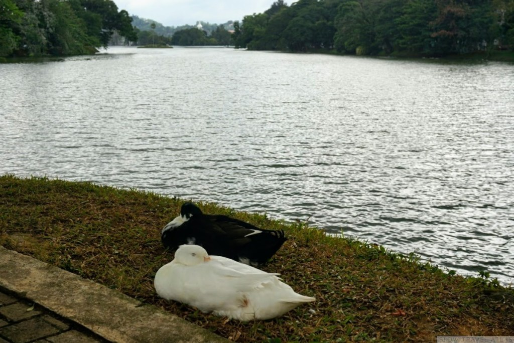 Two ducks sleeping next to Kandy lake