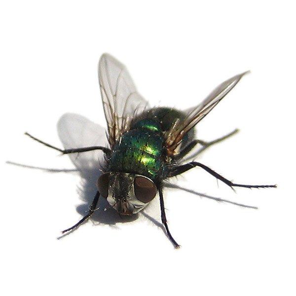 Meditación de la mosca