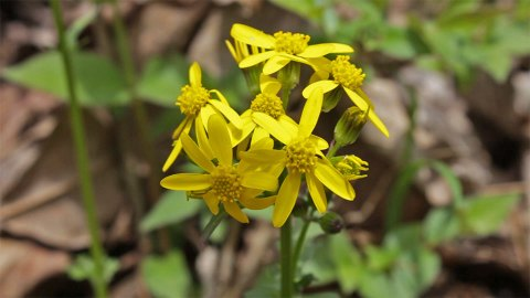 Golden Ragwort on the Wild Hyacinth Trail