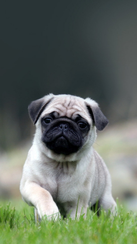 cute pug dog wallpaper iphone 6 plus hd